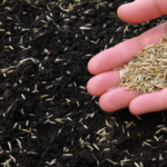 How to plant Bermuda grass seed?
