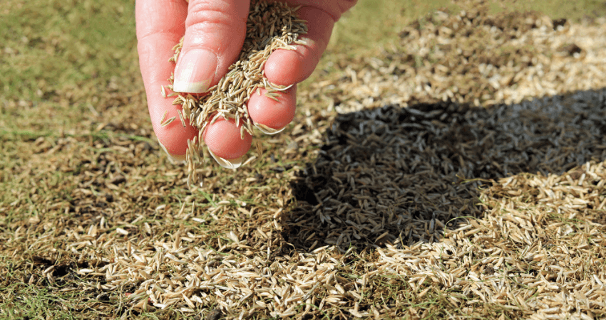 Tall Fescue Grass Seed
