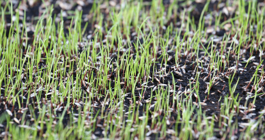 When Does Grass Stop Grow