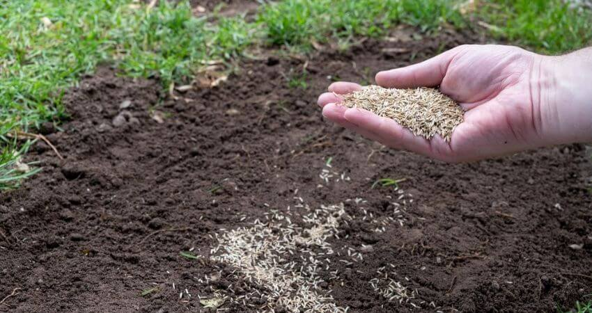 How to Plant Ryegrass Seed